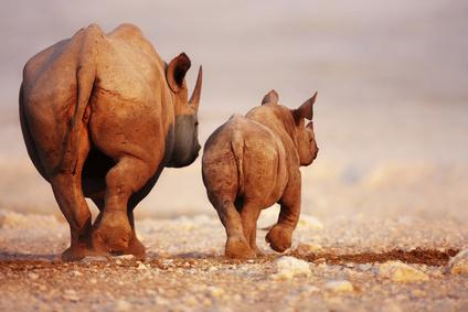 Safari in Namibia: Mit Nashörnern auf  Du und Du