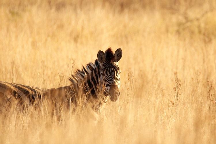 Zebra zwischen Gräsern stehend