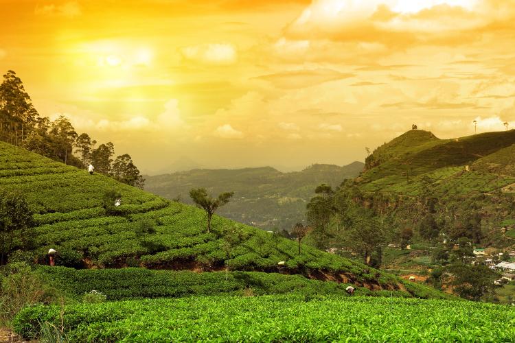 Eine Teeplantage in Sri Lanka beim Sonnenuntergang