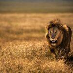 Eine Reise nach Tansania: auf den Spuren des Löwen