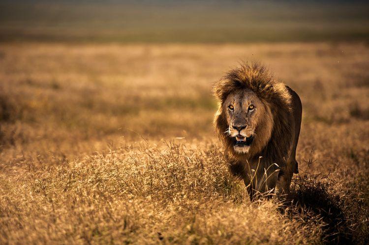 Löwe läuft durch das Feld