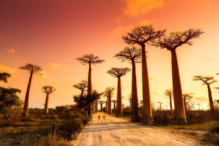 Bäume auf Madagaskar