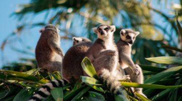 Lemuren sitzen auf einem Baum