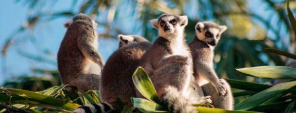 Madagaskar Reiseziele – Highlights im Land der Lemuren