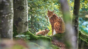 Luchsmutter mit jungem im Bayerischen Wald